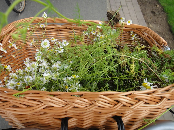 Camomille in my basket.