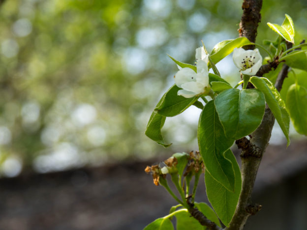 Pear blooms